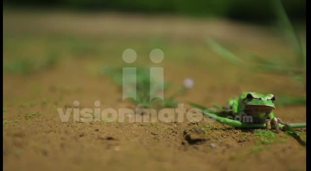 Green frog in focus video footage