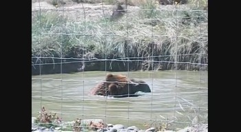 Sequim Washington bear video!