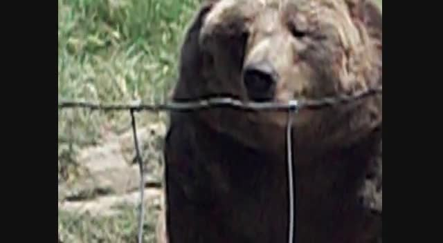 Sequim Washington bear video