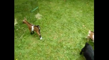 This will make you smile! Dwarf Goat Plays Adorably