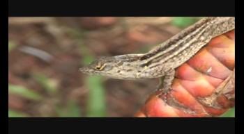 Lizard video