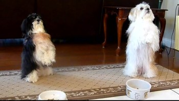 Two Dogs Pray Before Meal - Adorable!