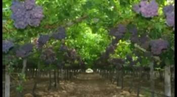 The Churh - Vine & Branches