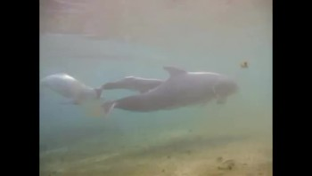 The Miracle of Life Caught on Camera! Incredible Dolphin Birth