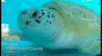 'Miracle turtle' returns to the sea