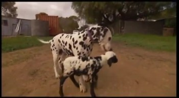 Dalmatian Adopts Orphan Lamb - And Something Amazing Happened!