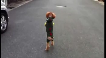 Dog Amazingly Walks on 2 Legs