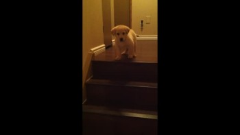 Big Brother Dog Teaches Puppy to Go Downstairs - So Cute!