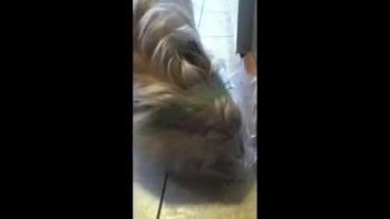 Cute Dog tries to Get Food inside a Bag