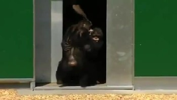 Chimps Held Captive for 30 Years Play Outside For the FIRST TIME EVER - A Beau