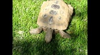 Peggy's Tortoise v1 2013