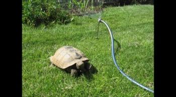 Peggy's Tortoise v2 2013
