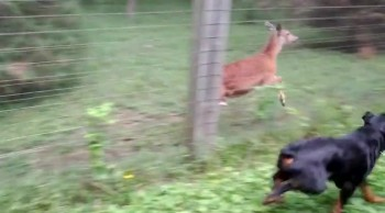 Dog and Deer Playfully Chase Each Other