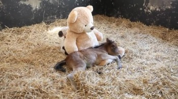 Orphaned Pony Gets Comfort From an Unlikely Place
