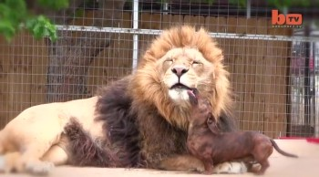 350-Pound Lion and Tiny Dog are ADORABLE Best Friends!
