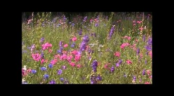 Highway Wildflowers-Amazing Grace (Arr. by Jessica Comeau) Pensacola Mountain Dulcimer Wildflowers