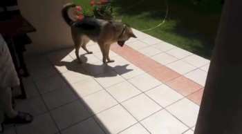 German Shepherd Plays With His Own Shadow