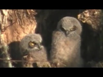 Great Horned Baby Owls