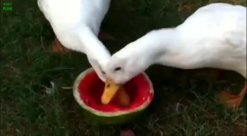 Animals Eating Watermelon Compilation