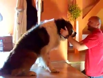 Huge St. Bernard Needs Help Going Down Stairs!