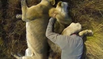 Man Cuddles with Gentle Lions