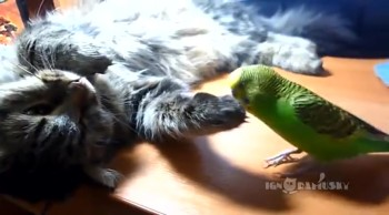 Pet Bird Wants to Play with Sleepy Kitty