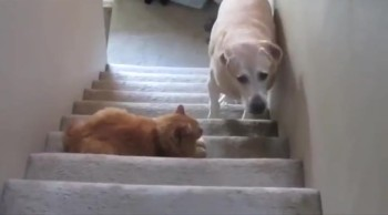 Silly Doggies are Stopped in their Tracks. . . by Cats!
