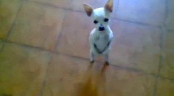 This Little Dog is SO Full of Joy He Just Has to Dance!