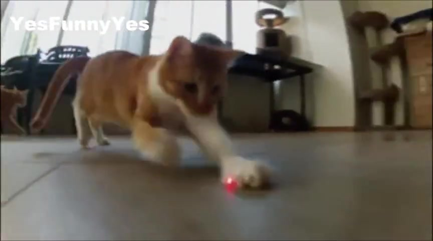 Hilarious Cats Chase Laser Pointers