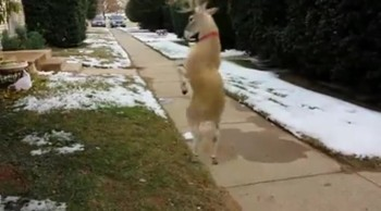 Rudolph Can Boogie!  You've Got to See this Dancing Deer!