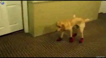Life is Better When Dogs Wear Boots - Watch the Hilarious Compilation
