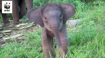 Tiny Sweetheart of an Elephant Learns to Use Her Trunk