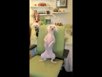 Cute Doggie Dances the Back Scratch Boogie!