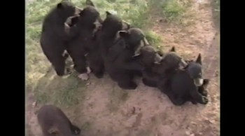 Bear Conga Line.  That's Right--A Conga Line. Of Bears!!!