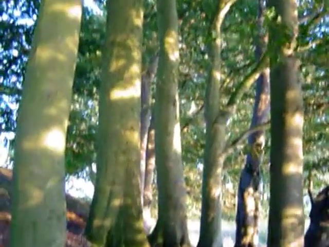 Beech Trees on Tumuli