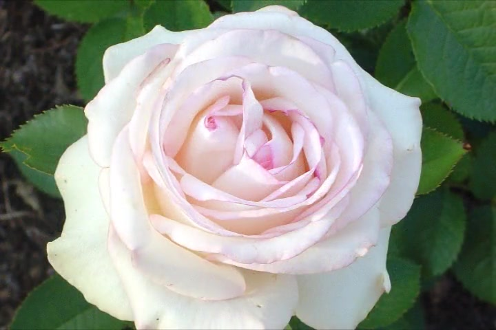 Once Upon a Rose-Beautiful Rose Photos with Poem and Scripture-Melody Ann Rose