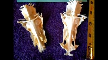 Image Of Jesus on Cat Fish Skull Bone an Amazing Artifact & Mysterious Icon