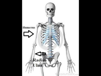 Skeletal System Anatomy Physiology