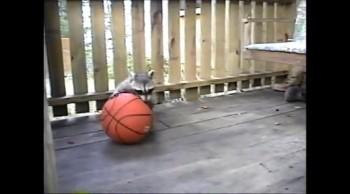 Buddy and Rambo Raccoons play with basketball
