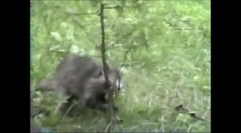 A Raccoon playful antics