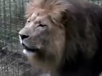 Leão Rugindo produz o som do Nome do Eterno YÁUH.