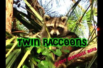 Twin Raccoons