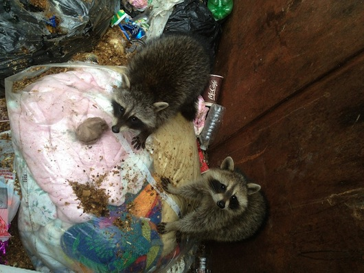 how to get rid of raccoons in trash
