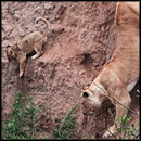 Dramatic Rescue of a Lion Cub From the Side of a Cliff