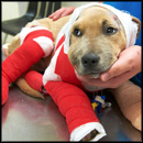 Miraculous Rescue of a Tortured Pit Bull Puppy
