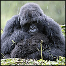 Mother Gorilla Does Something Heartwarming for Her Baby