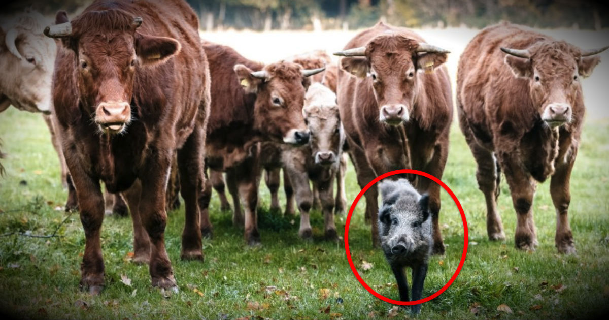 The Unlikely New Addition To This Herd Of Cows Is Too Sweet To Miss!