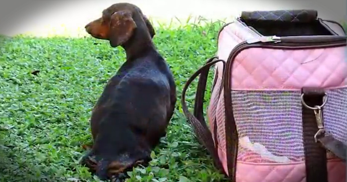 Abandoned Paralyzed Pregnant Dog Get Beautiful Rescue