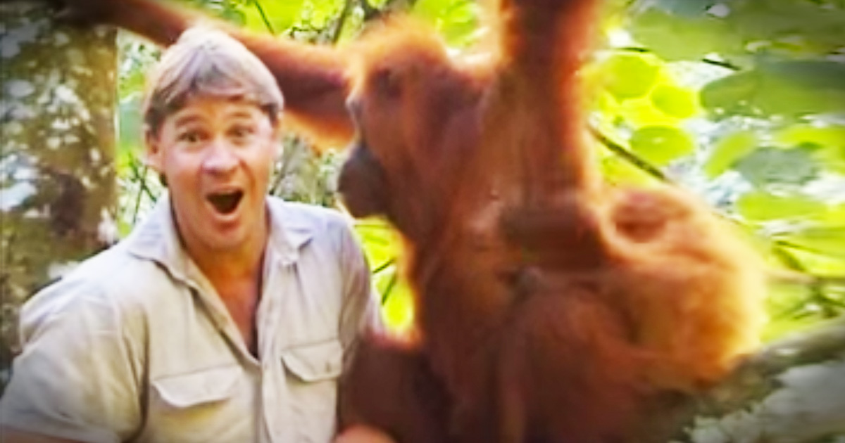 Watch The Incredible Moment Steve Irwin Is Accepted By An Orangutan