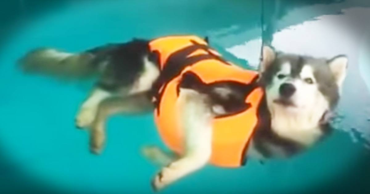 Happy Husky Is Hilariously Relaxed In The Pool